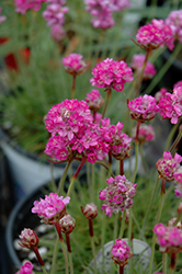 Splendens Sea Thrift (Armeria maritima 'Splendens') at Hillermann Nursery