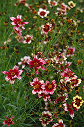 Berry Chiffon Tickseed (Coreopsis 'Berry Chiffon') at Hillermann Nursery