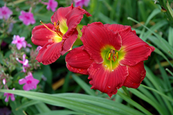 Happy Ever Appster® Red Hot Returns Daylily (Hemerocallis 'Red Hot Returns') at Hillermann Nursery