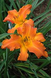 Primal Scream Daylily (Hemerocallis 'Primal Scream') at Hillermann Nursery