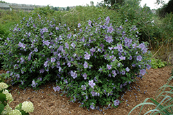 Blue Chiffon® Rose of Sharon (Hibiscus syriacus 'Notwoodthree') at Hillermann Nursery