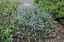 Cat's Meow Catmint (Nepeta x faassenii 'Cat's Meow') at Hillermann Nursery