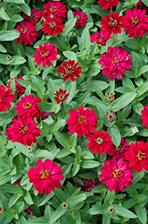 Profusion Double Hot Cherry Zinnia (Zinnia 'Profusion Double Hot Cherry') at Hillermann Nursery