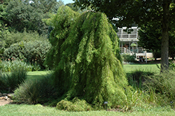 Falling Waters Baldcypress (Taxodium distichum 'Falling Waters') at Hillermann Nursery