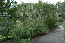 Pampass Grass (Erianthus ravennae) at Hillermann Nursery