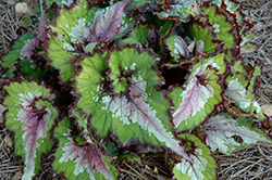 Jurassic Watermelon Begonia (Begonia 'Jurassic Watermelon') at Hillermann Nursery