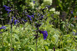 Black And Blue Anise Sage (Salvia guaranitica 'Black And Blue') at Hillermann Nursery