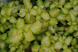 Terra Nova® Electric Slide Coleus (Solenostemon scutellarioides 'Electric Slide') at Hillermann Nursery