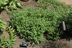 Greek Oregano (Origanum onites) at Hillermann Nursery