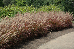 Purple Fountain Grass (Pennisetum setaceum 'Rubrum') at Hillermann Nursery