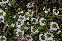 Fairy White Fan Flower (Scaevola aemula 'Fairy White') at Hillermann Nursery