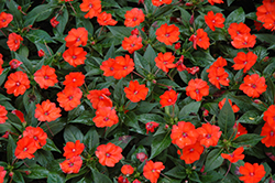 SunPatiens® Compact Orange New Guinea Impatiens (Impatiens 'SunPatiens Compact Orange') at Hillermann Nursery