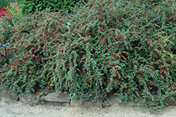 Cranberry Cotoneaster (Cotoneaster apiculatus) at Hillermann Nursery
