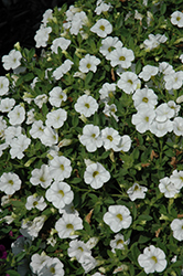 Kabloom™ White Calibrachoa (Calibrachoa 'Kabloom White') at Hillermann Nursery