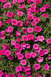 Kabloom™ Deep Pink Calibrachoa (Calibrachoa 'Kabloom Deep Pink') at Hillermann Nursery