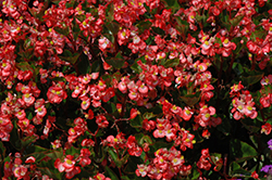 BabyWing® Bicolor Begonia (Begonia 'BabyWing Bicolor') at Hillermann Nursery