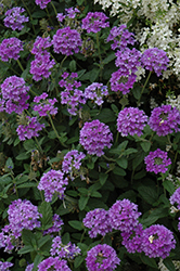 EnduraScape™ Blue Verbena (Verbena 'Balendluim') at Hillermann Nursery