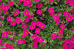 Can-Can® Neon Pink Calibrachoa (Calibrachoa 'Can-Can Neon Pink') at Hillermann Nursery