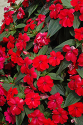 Big Bounce™ Red Impatiens (Impatiens 'Balbiged') at Hillermann Nursery