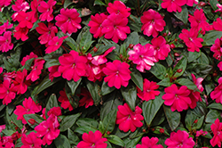 Big Bounce™ Cherry Impatiens (Impatiens 'Balbigbery') at Hillermann Nursery