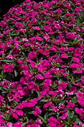 Bounce™ Violet Impatiens (Impatiens 'Balbouvio') at Hillermann Nursery