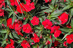 SunPatiens® Compact Red New Guinea Impatiens (Impatiens 'SunPatiens Compact Red') at Hillermann Nursery
