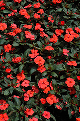 SunPatiens® Compact Hot Coral New Guinea Impatiens (Impatiens 'SunPatiens Compact Hot Coral') at Hillermann Nursery
