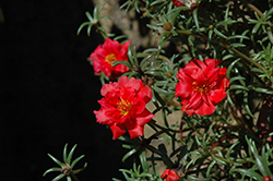 Happy Trails Deep Red Portulaca (Portulaca grandiflora 'Happy Trails Deep Red') at Hillermann Nursery