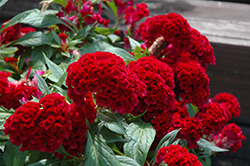 Twisted Celosia (Celosia cristata 'Twisted') at Hillermann Nursery