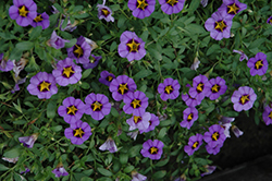 Superbells® Evening Star Calibrachoa (Calibrachoa 'Superbells Evening Star') at Hillermann Nursery