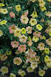 Supertunia® Honey Petunia (Petunia 'Supertunia Honey') at Hillermann Nursery