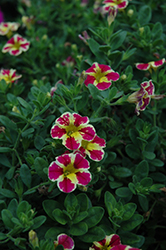 Superbells® Holy Moly! Calibrachoa (Calibrachoa 'Superbells Holy Moly!') at Hillermann Nursery