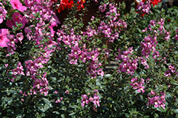 Alonia Pink Romance Angelonia (Angelonia angustifolia 'Alonia Pink Romance') at Hillermann Nursery