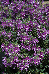 Alonia Big Violet Angelonia (Angelonia angustifolia 'Alonia Big Violet') at Hillermann Nursery