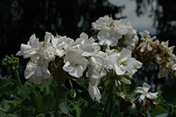 Allure White Geranium (Pelargonium 'Allure White') at Hillermann Nursery