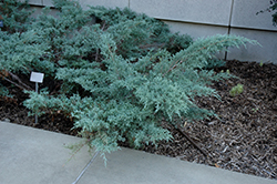 Angelica Blue Juniper (Juniperus x media 'Angelica Blue') at Hillermann Nursery