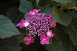 Tuff Stuff™ Hydrangea (Hydrangea serrata 'MAK20') at Hillermann Nursery