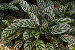 Peacock Plant (Calathea makoyana) at Hillermann Nursery