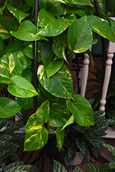 Golden Pothos (Epipremnum aureum) at Hillermann Nursery