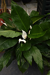 Peace Lily (Spathiphyllum wallisii) at Hillermann Nursery