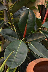 Rubber Tree (Ficus elastica) at Hillermann Nursery