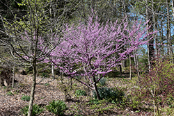 Hearts of Gold Redbud (Cercis canadensis 'Hearts of Gold') at Hillermann Nursery