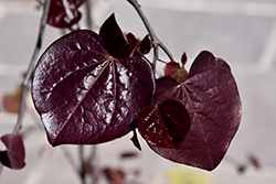 Ruby Falls Redbud (Cercis canadensis 'Ruby Falls') at Hillermann Nursery