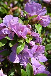Encore® Autumn Lilac™ Azalea (Rhododendron 'Robles') at Hillermann Nursery