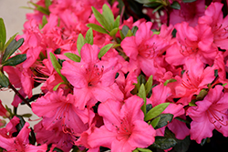 Girard's Rose Azalea (Rhododendron 'Girard's Rose') at Hillermann Nursery