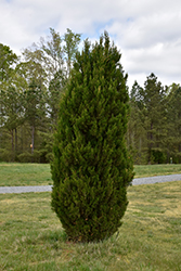 Spartan Juniper (Juniperus chinensis 'Spartan') at Hillermann Nursery