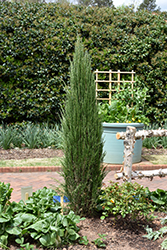 Blue Arrow Juniper (Juniperus scopulorum 'Blue Arrow') at Hillermann Nursery