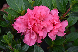 Bloom-A-Thon® Pink Double Azalea (Rhododendron 'RLH1-2P8') at Hillermann Nursery