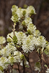 Mt. Airy Fothergilla (Fothergilla major 'Mt. Airy') at Hillermann Nursery