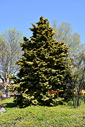 Confucius Hinoki Falsecypress (Chamaecyparis obtusa 'Confucius') at Hillermann Nursery